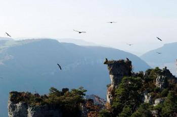 Vautours fauves dans le parc national des Cévennes Crédit photo Alain Lagrave